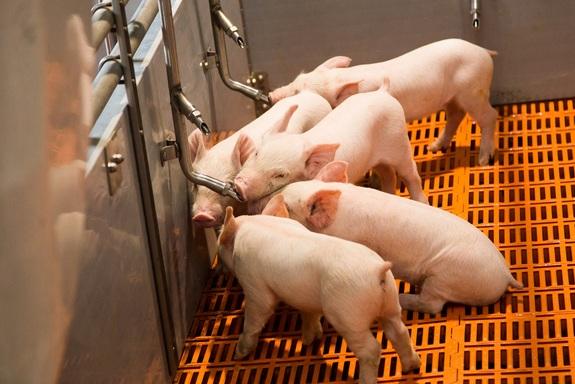 Фоторепортаж: «Ариант» запускает свинокомплексы за 10 млрд руб. 3