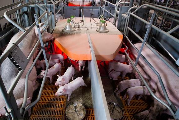 Фоторепортаж: «Ариант» запускает свинокомплексы за 10 млрд руб. 4