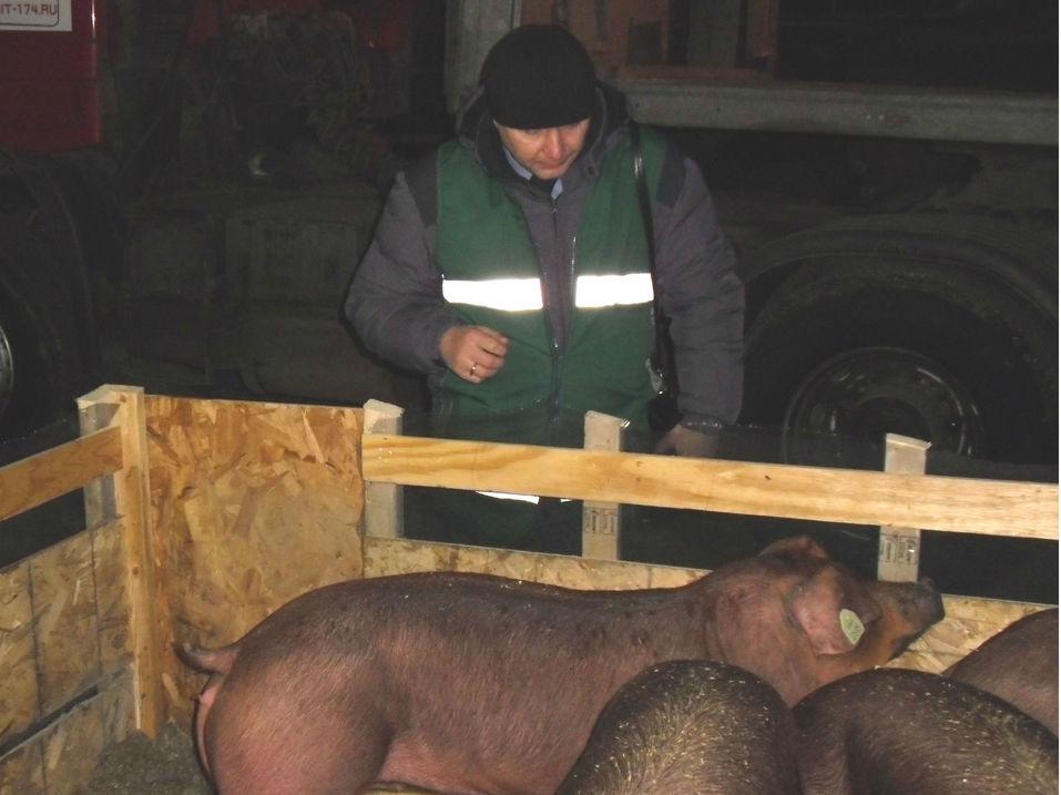 Свиньи прилетели: для агрофирмы Аристова в Челябинск доставили элитных животных из Америки 1