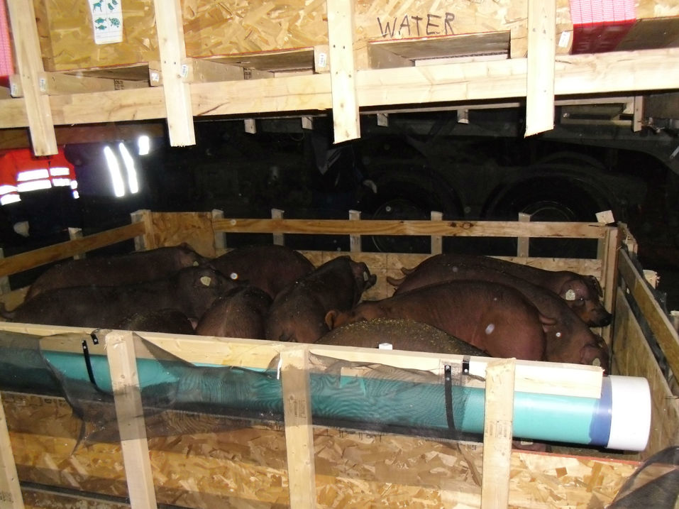 Свиньи прилетели: для агрофирмы Аристова в Челябинск доставили элитных животных из Америки 2