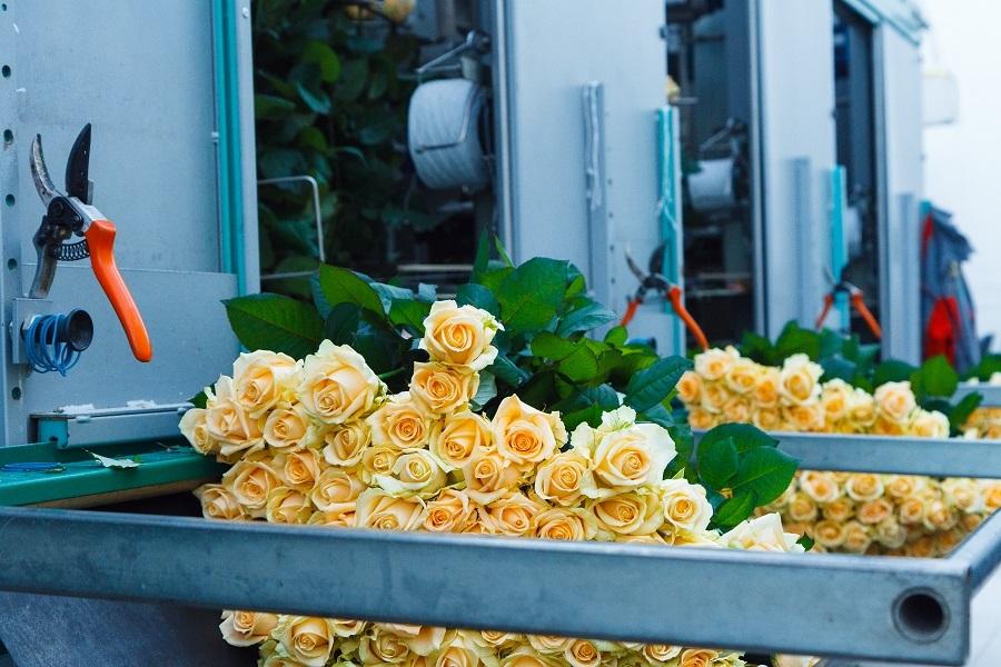 Сколько стоит миллион роз? Изнанка крупнейшего на Урале производства цветов 10