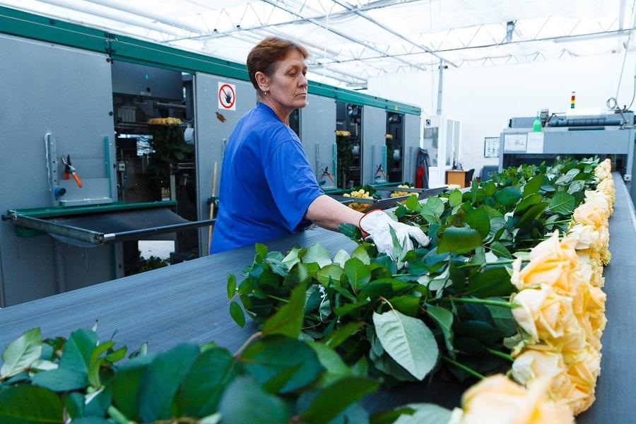 Сколько стоит миллион роз? Изнанка крупнейшего на Урале производства цветов 11