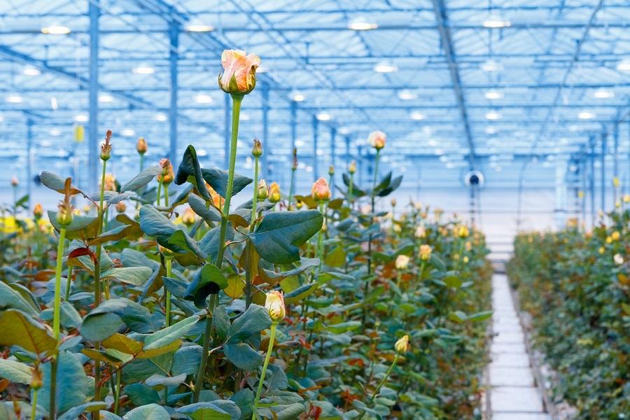 Сколько стоит миллион роз? Изнанка крупнейшего на Урале производства цветов 5