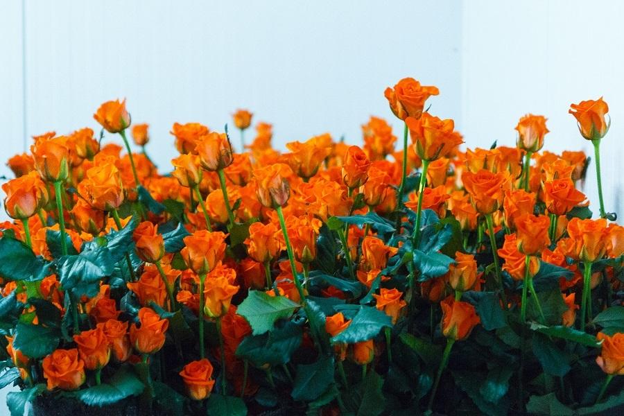 Сколько стоит миллион роз? Изнанка крупнейшего на Урале производства цветов 4
