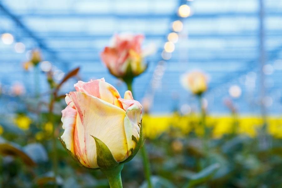 Сколько стоит миллион роз? Изнанка крупнейшего на Урале производства цветов 3