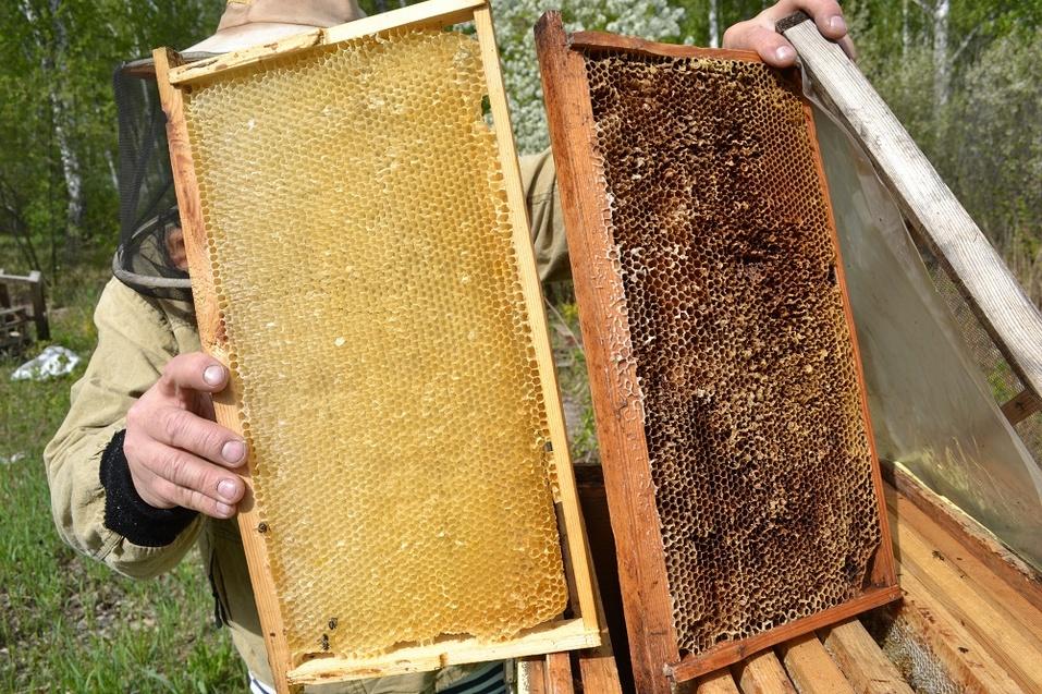 Слева - свежие соты, а справа соты, из которых вышло не меньше четырёх поколений пчёл