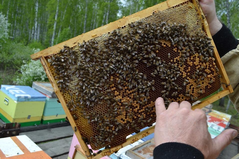 Некоторые соты уже заполнены - в них мёд