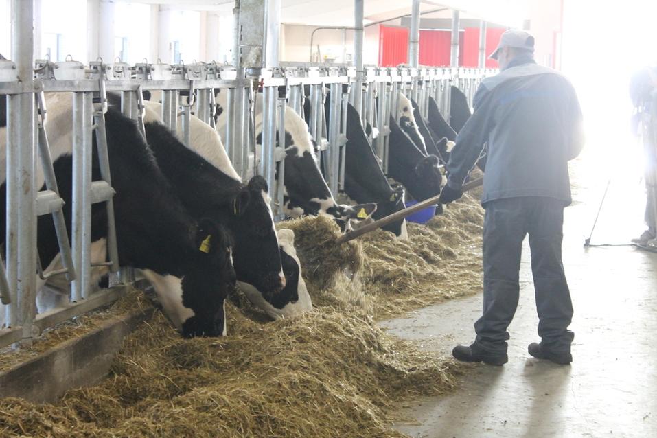 Все по науке: голштинские коровы из «Толмачевского» дадут шоколадный творог 1