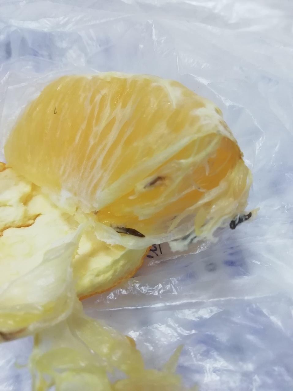 В торговые сети Челябинска проникла партия апельсинов с личинками экзотической мухи 1