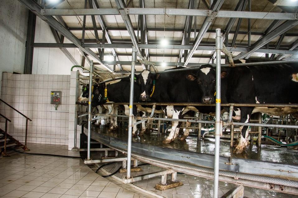 Коровы онлайн. Зачем аграриям Нижегородской области «Умная ферма»? 1