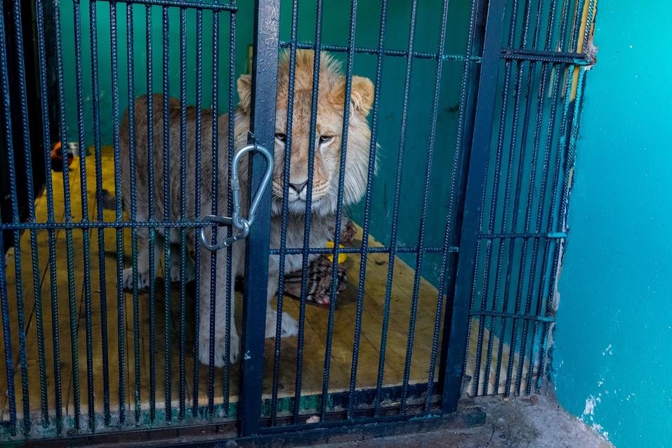 В пандемию обанкротились передвижные цирки и контактные зоопарки — зверей сдают на чучела 2