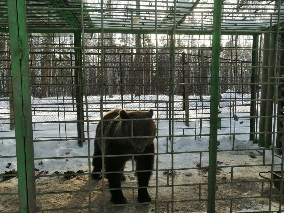 Один из Медведей в Бархатных рогах