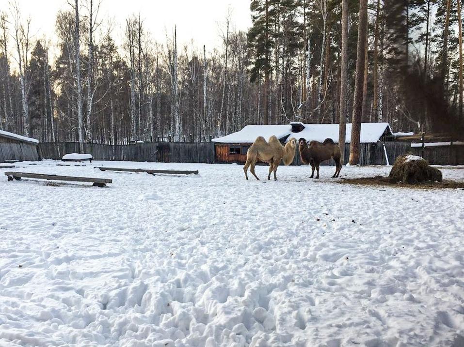 Верблюдицы на ферме. Фото: официальный паблик «Бархатные рога» «ВКонтакте»