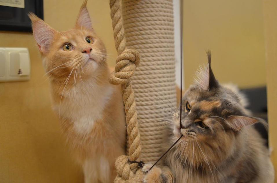 «Терпят нас за вкусняшки»: котики, которые стоят за екатеринбургскими бизнесменами 13