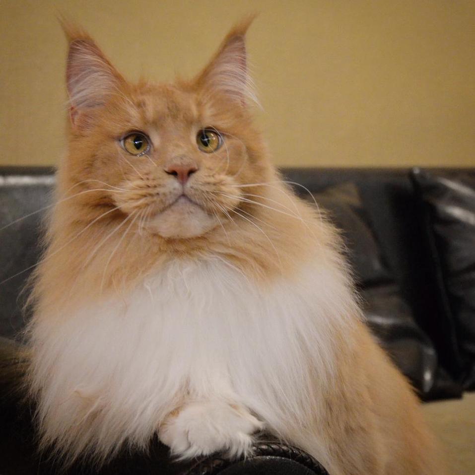 «Терпят нас за вкусняшки»: котики, которые стоят за екатеринбургскими бизнесменами 12