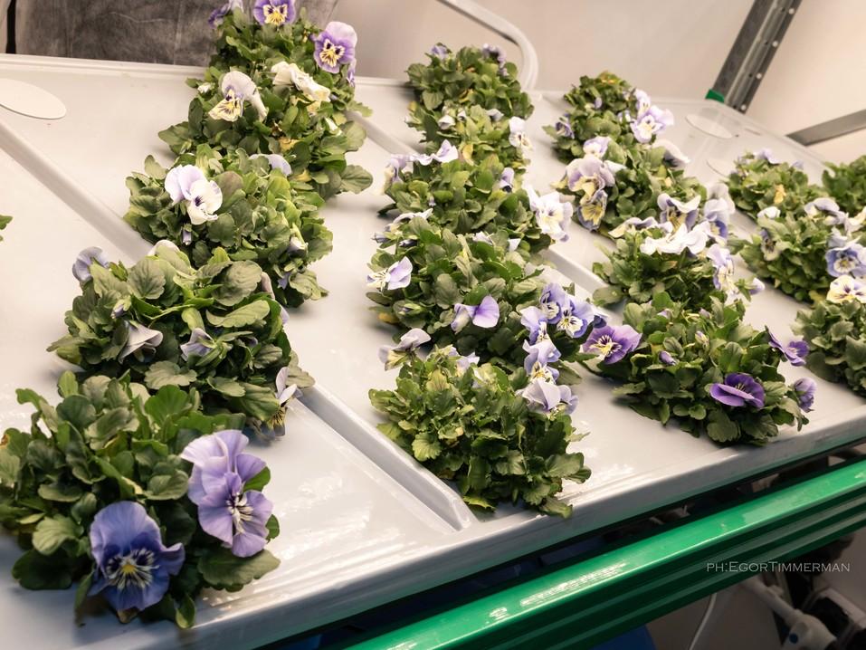 Новосибирский разработчик iFarm вырастил в мульти-лаборатории европейские сорта клубники  6