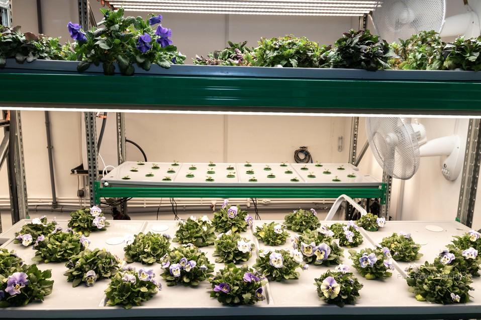 Новосибирский разработчик iFarm вырастил в мульти-лаборатории европейские сорта клубники  7