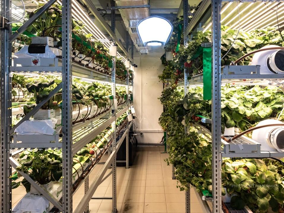 Новосибирский разработчик iFarm вырастил в мульти-лаборатории европейские сорта клубники  16