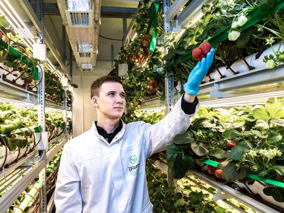 Новосибирский разработчик iFarm вырастил в мульти-лаборатории европейские сорта клубники  19