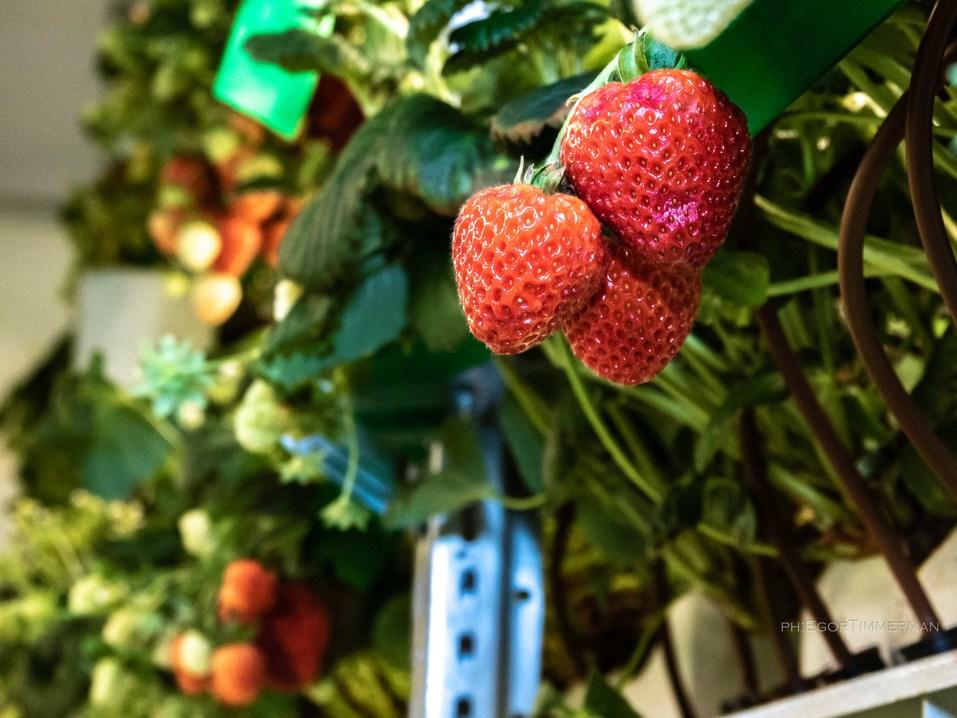 Новосибирский разработчик iFarm вырастил в мульти-лаборатории европейские сорта клубники  24