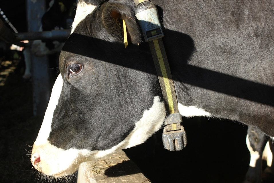 Все коровы в специальных ошейниках