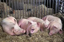 «Ариант» опустился в федеральном рейтинге среди производителей свинины