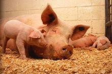 Ардатовский свинокомплекс увеличит производство свинины в Нижегородской области в два раза