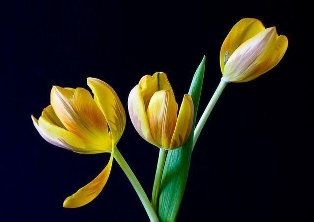 Россельхознадзор запретил импорт цветов из Голландии