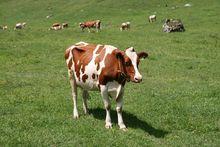 Регионы получат больше пяти млрд рублей на молочное скотоводство