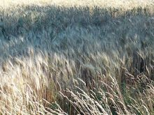В Ростовской области наполовину закончили уборку поздних зерновых