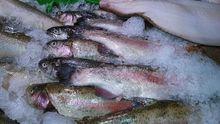 Больше четверти замороженной рыбы  не прошло проверку в лаборатории