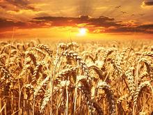 Китай хочет новосибирского зерна