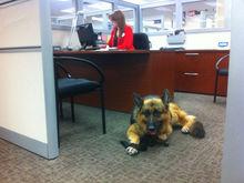 Российские компании распахивают двери: теперь на работу можно приходить с собакой