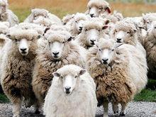 В Татарстане у фермера за долги по кредитам арестовали отару овец