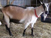 УГМК закупила во Франции коз для производства элитного сыра