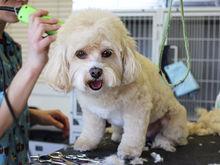 Мода на собачек: как заработать на груминге