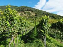 «Ариант» приобрел крупные виноградники на юге