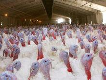 Красноярская птицефабрика «Индюшкино» снова не нашла покупателей