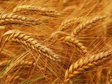 Вредители помешали экспортировать 67 тонн ростовского зерна
