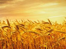 Ростовская область планирует собрать в 2017 году как минимум 9 млн тонн зерна