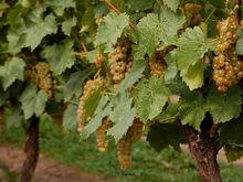 Итальянская компания выпустит для России вино Dimon