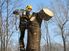 Мэрия накажет подрядчиков за варварскую обрезку деревьев