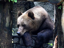 Зоопарк построит «дома» для тигров и медведей за 100-140 млн руб.