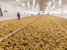 Предприятие «Утиные фермы» планирует избежать банкротства, несмотря на 790 млн руб. долга
