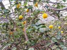 «Сады России» продали единственный в Челябинской области лимонарий