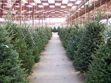 «Роев ручей» попросил у красноярских бизнесменов новогодние елки