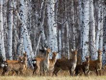Тридцать особей пятнистого оленя завезут в Дальнеконстантиновский район