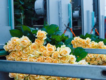 Сколько стоит миллион роз? Изнанка крупнейшего на Урале производства цветов