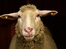 Покупай нижегородское. Началось строительство комплекса по производству овечьего молока