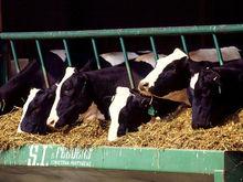 Итальянские сыры и мраморная говядина. Уральский олигарх построил ферму за 1,2 млрд руб.